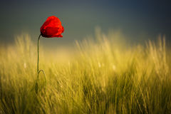 Wild Red Poppy, Shot With A Shallow Depth Of Focus, On A Yellow Wheat Field In The Sun. Lonely Red Poppy Close-Up Among Wheat. royalty free stock image