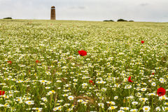 Wild red poppy and white daisy flowers . Royalty Free Stock Photography