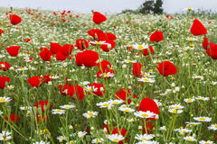 Wild red poppy and white daisy flowers . Stock Image