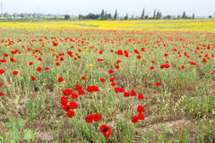 Wild red poppy and white daisy flowers . Royalty Free Stock Photos