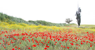 Wild red poppy and white daisy flowers . Stock Photos