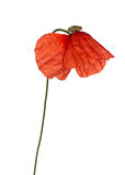 Wild red poppy on white Royalty Free Stock Images