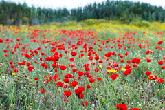 Wild red poppy and yellow daisy flowers . Royalty Free Stock Photo