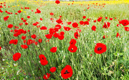 Wild red poppy and yellow daisy flowers . Royalty Free Stock Images