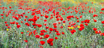 Wild red poppy and yellow daisy flowers . Stock Image