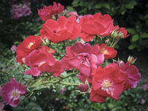 Wild red rose blossoms Stock Image