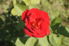 Wild red rose. Bulgaria. Wild red rose in the field Royalty Free Stock Image