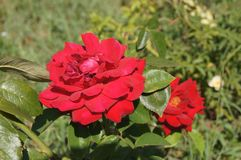 Wild red rose. Bulgaria. Wild red rose in the field Stock Images