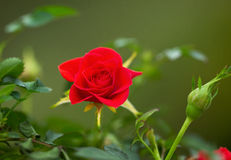 Wild Red Rose during Spring Season Stock Image