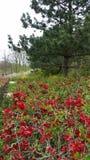 Wild red rosebushes Stock Image