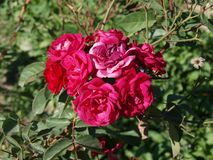 Wild red roses, beutifull flowers royalty free stock photos