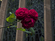 Wild Red roses in front of stained glass window. Wild Red rose bush in front of stained glass window of Chester Cathedral Royalty Free Stock Image