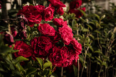 Wild Red Roses. With green leafs surroundings in a relatively cloudy day of the summer nearby the Marmara region of the country Turkey Royalty Free Stock Photo