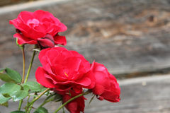 Wild red roses Stock Image