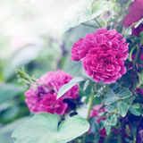 Wild Red roses Stock Photography