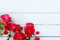 Wild Red Roses. On pale blue wooden floorboards, summer outdoor wedding pretty arrangement, copy space Stock Image