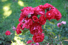 Wild red roses Royalty Free Stock Photos