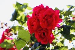 Wild red roses sunshine beautiful stock photo