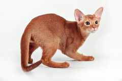 Wild red (sorrel) abyssinian kitten. Portrait of wild red (sorrel) abyssinian kitten Royalty Free Stock Photos