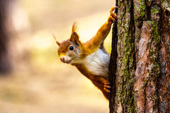 Wild Red Squirrel Formby England. Nature reserve Royalty Free Stock Image
