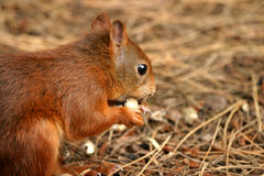Wild Red Squirrel. Formby UK pine woods rare species endangered nuts secret Royalty Free Stock Photos