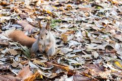 Wild red squirrel standing in dry fall foliage in autumnal fores. Wild red squirrel standing in dry brown fall foliage in autumnal forest Stock Image