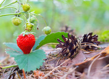 Wild red strawberry Stock Photo