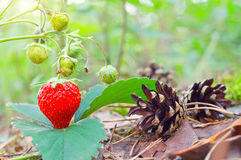 Wild red strawberry Stock Photos