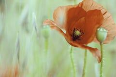 Wild red summer flower. Corn poppy Papaver rhoeas in grass meadow. Field flowers macro Stock Photography