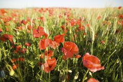 Wild red summer poppies in wheat field Royalty Free Stock Photos