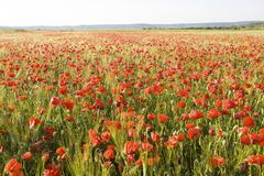 Wild red summer poppies in wheat field Royalty Free Stock Photo