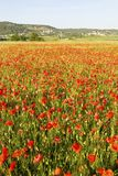 Wild red summer poppies in wheat field Stock Image