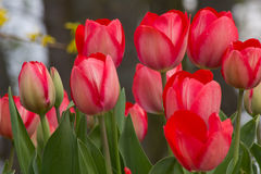Wild red tulips at a roadside in Goettingen , Germany in spring Royalty Free Stock Photography
