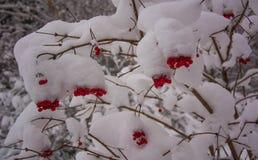 Wild viburnum berries under snow Stock Images