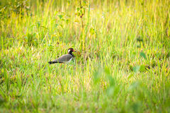 Wild red-wattled lapwing Stock Photos