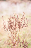 Wild red weed, grass, plant with seeds. In uncultivated field royalty free stock photos