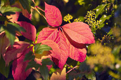 Wild Red wine autumn Royalty Free Stock Photography