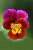 Wild red yellow pansy flower Royalty Free Stock Photos