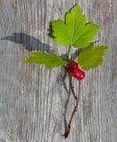 Wild redcurrant Stock Image