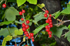 Wild redcurrant 3 Stock Photography
