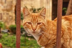 Wild redheaded kitten sitting behind brown iron fence and watchs me. Funny cat face looks throught iron sticks. Angry animal head royalty free stock photography