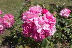 wild redrose royaltyfri bild