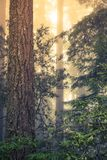 Wild Redwood Forest Royalty Free Stock Photos