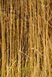 Wild reed grass Stock Photography