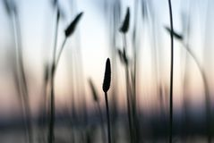 Wild reed in pastel colors at Bucharest Delta Lake. Black reed silhouettes on blurry background Stock Photo
