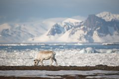 Wild reindeer in the Arctic - Spitsbergen Royalty Free Stock Photo
