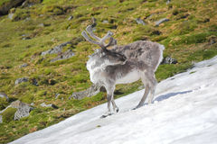 Wild reindeer in Arctic tundra - Spitsbergen Royalty Free Stock Photography