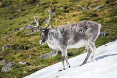 Wild reindeer in Arctic tundra - Spitsbergen Royalty Free Stock Photos