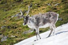 Wild reindeer in Arctic tundra - Spitsbergen royalty free stock photos