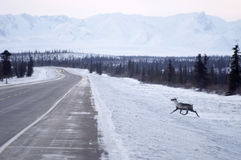 Wild Reindeer Caribou Attempts to Cross Icy Highway Northern Alaska. Caribou approaches roadway where animlas get struck almost every night Stock Images